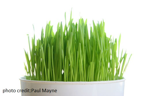 wheatgrass for pcos, wheatgrass benefits for pcos, wheatgrass juice for pcos, foods for pcos, foods to eat with pcos, best foods for pcos, best foods to eat if you have pcos, Food Cures for Polycystic Ovarian Syndrome, Foods That Fight PCOS, Foods which may cure polycystic ovary syndrome