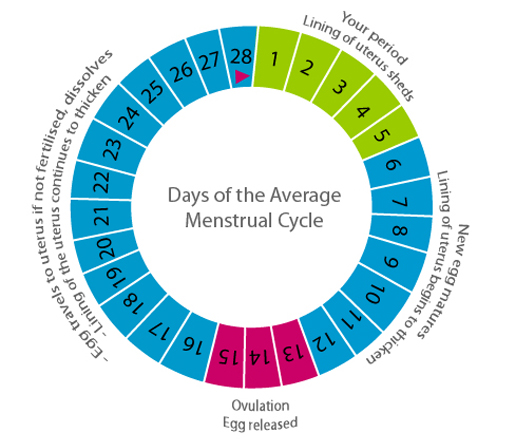The menstrual cycle, menstrual cycle period days, period cycle days count, menstrual cycle period calculator, count of monte cristo time period