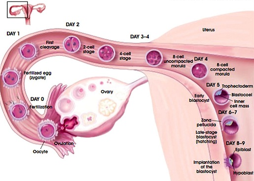 Ovulation Process, ovulation egg release, egg released during ovulation, ovulation egg release time, time to get pregnant
