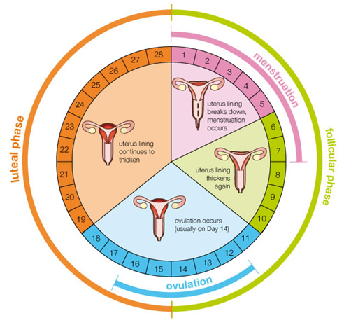 menstrual cycle, menstrual cycle pregnancy, menstrual cycle days, menstrual cycle stages, menstrual cycle calendar, menstrual cycle chart